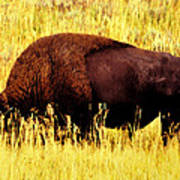 Bison In Field Poster