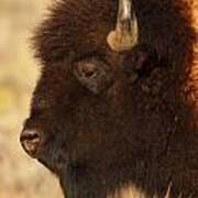 Bison In Profile Poster