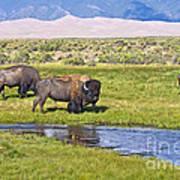 Bison On Big Spring Creek Poster