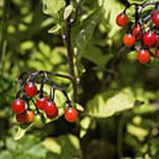Bittersweet Berries (solanum Dulcamara) Poster