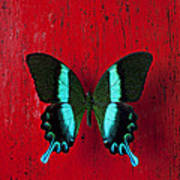 Black And Blue Butterfly  Poster