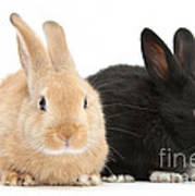 Black And Sandy Rabbits Poster
