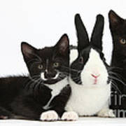 Black And Tuxedo Kittens With Dutch Poster