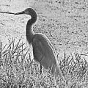 Black And White Egret  Poster