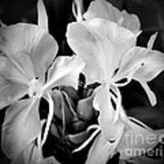 Black And White Hawaiian Ginger Flowers Poster