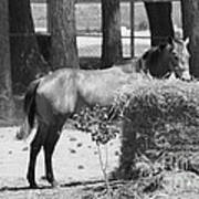 Black And White Hay Horse Poster