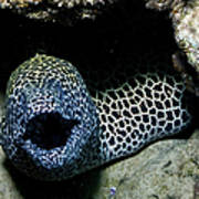 Black And White Honeycomb Moray Eel Poster