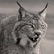 Black And White Lynx Poster