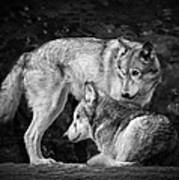 Black And White Wolves Poster