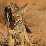 Black-backed Jackal Poster