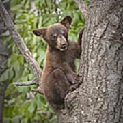 Black Bear Cub Hanging On Poster