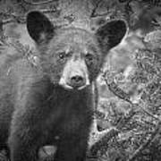 Black Bear Cub In A Pine Tree Poster