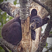Black Bear Cub No 3224 Poster