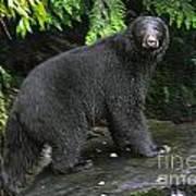 Black Bear Neets Bay Alaska Poster