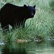 Black Bear Ursus Americanus Poster