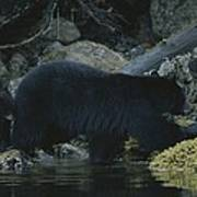Black Bear With Her Young Cub Tagging Poster