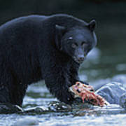 Black Bear With Salmon Carcass Poster