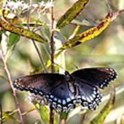 Black Beauty In The Bush Poster