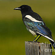 Black -billed Magpie Poster