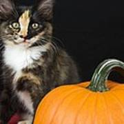 Black Calico Kitten With Pumpkin Poster