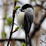Black-capped Chickadee On Staff Poster