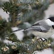 Black-capped Chickadee, Poecile Poster