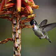 Black Chinned Hummingbird  Poster