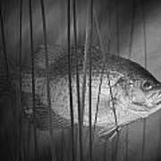Black Crappie Or Speckled Bass Among The Reeds Poster