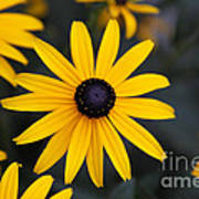 Black-eyed Susan Poster by Chris Hill