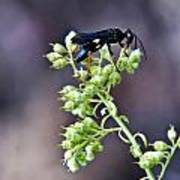Black Flower Feeding Wasp Poster