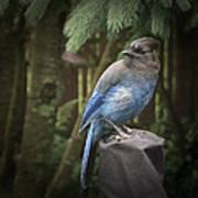 Black Headed Blue Jay Poster