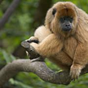 Black Howler Monkey Alouatta Caraya Poster