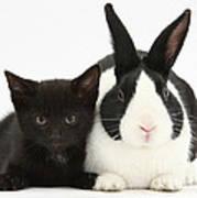 Black Kitten Dutch Rabbit Poster