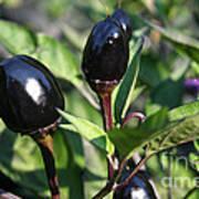 Black Olive Pepper Poster