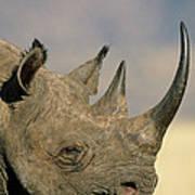 Black Rhinoceros Diceros Bicornis Close Poster