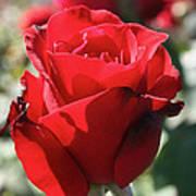 Black Rose Red Poster