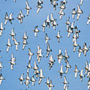Black-tailed Godwit Limosa Limosa Flock Poster
