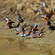 Black-throated Finches At Waterhole Poster