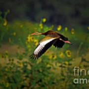 Blackbellied Whistling Duck In Flight Poster