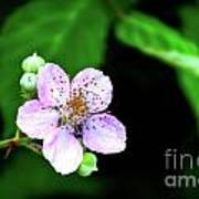 Blackberry Bloom Poster