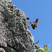 Blackberry On The Rock Top. Square Format Poster
