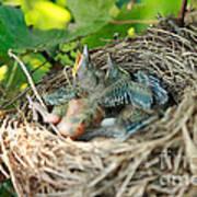 Blackbird Nest Poster