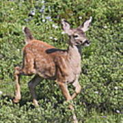 Blacktail Fawn Poster