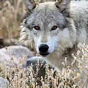 Blending Wolf  Poster