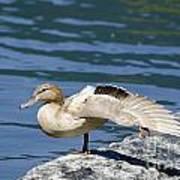 Blonde Duck Poster