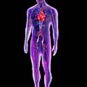 Blood Circulation System Poster