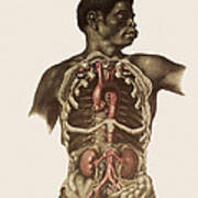 Blood Vessels Of The Thorax And Abdomen Poster by Mehau Kulyk