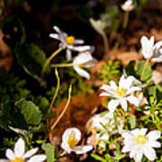 Bloodroot And Spring In The Woodland Poster