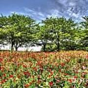 Bloomed Poppy Poster