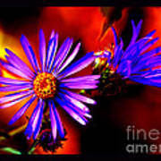 Blooming Asters Poster